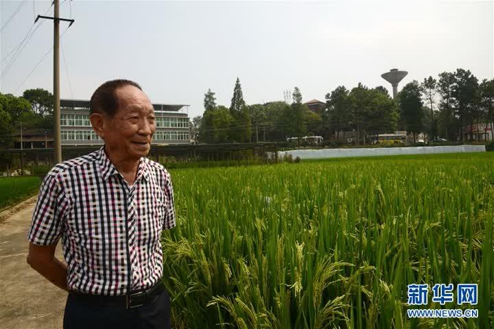 """(爱国情 奋斗者·图文互动)(2)一颗稻谷里的爱国情怀——记""""杂交水稻之父""""袁隆平"""