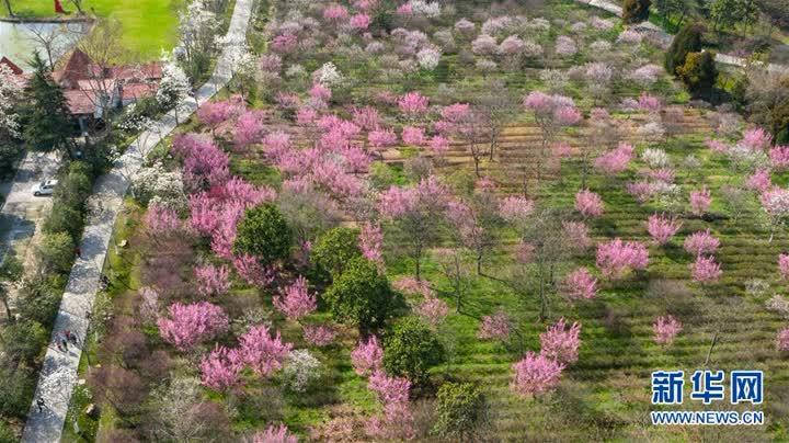 南京:梅花綻放春意濃