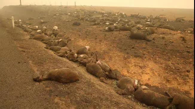 ▲大量的烧焦的袋鼠和牛、羊等牲畜的尸体,躺在道路的两侧。